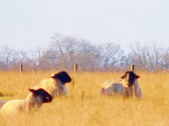 2015 01 26 sheep we three sig jpg sig