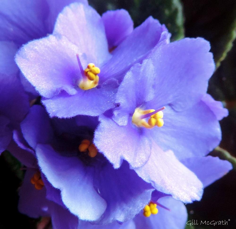 2015 01 27 beautiful violets jpg sig