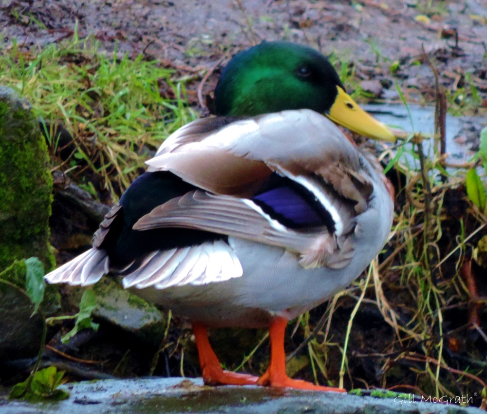 2014 01 01  duck head and tail jpg sig