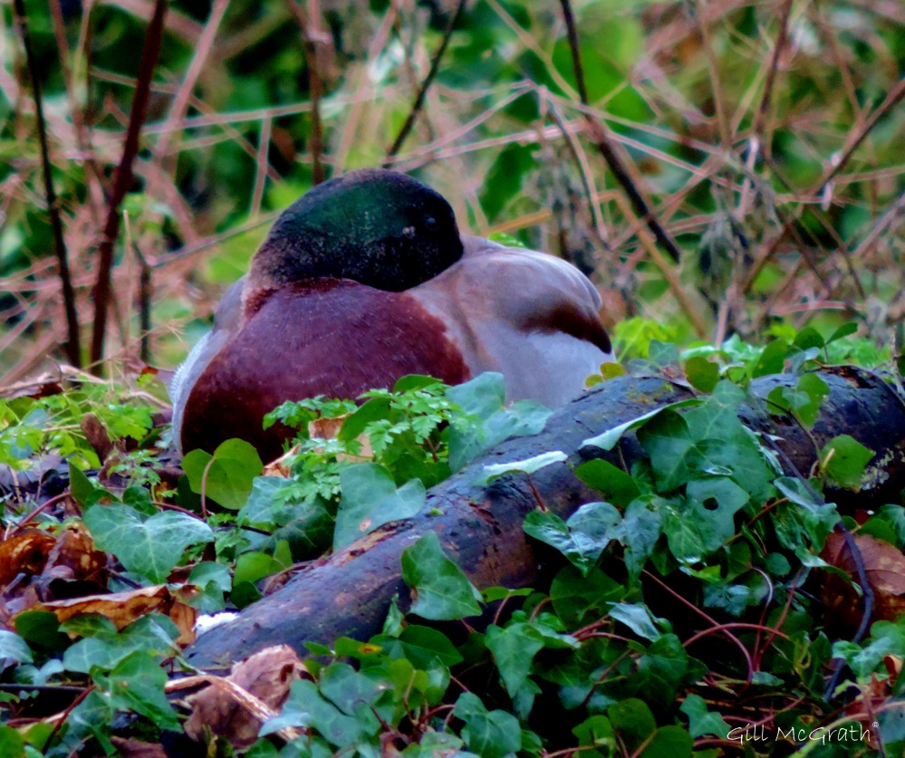 2015 01 01  duck sculpture