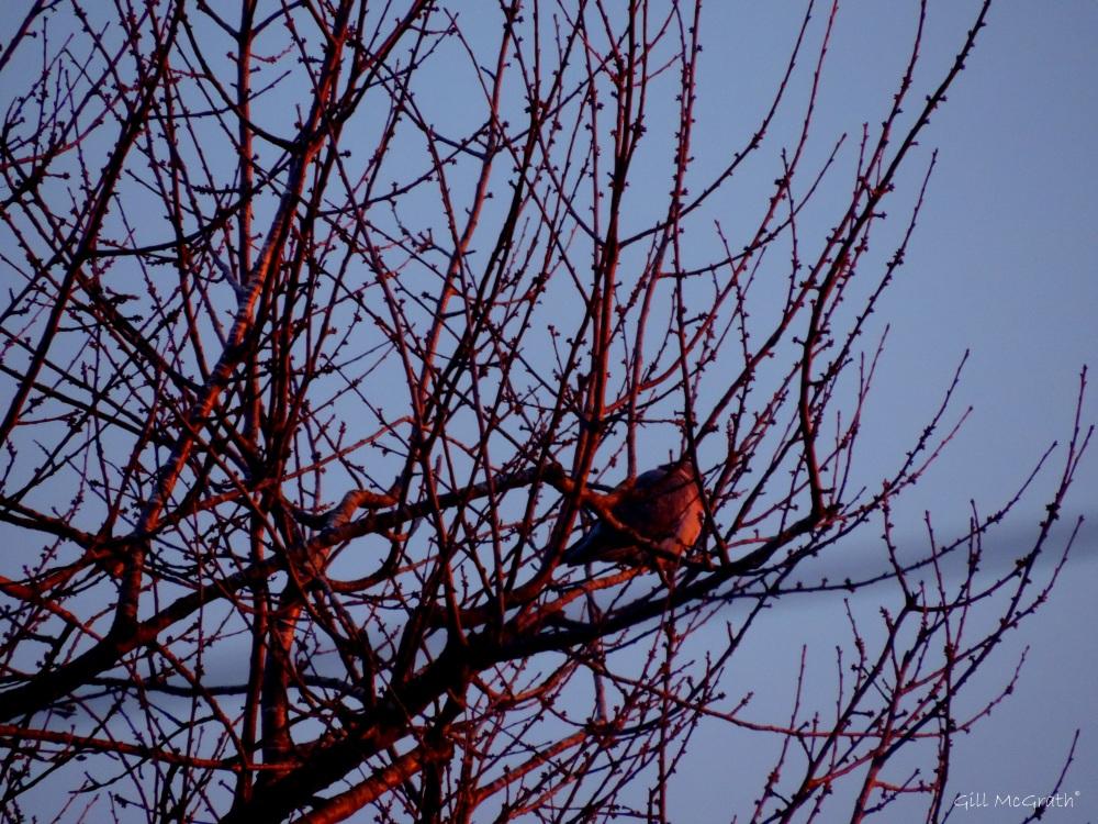 2015 01 02 pink pigeon in tree morning jpg sig