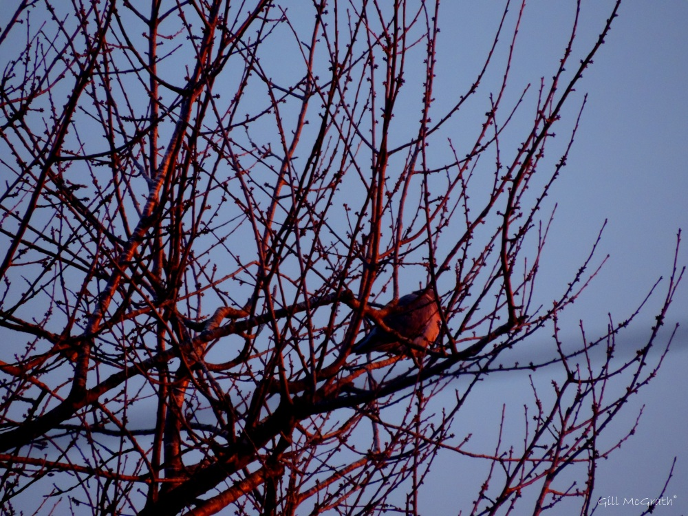 2015 01 02 pink pigeon in tree morning jpg sig