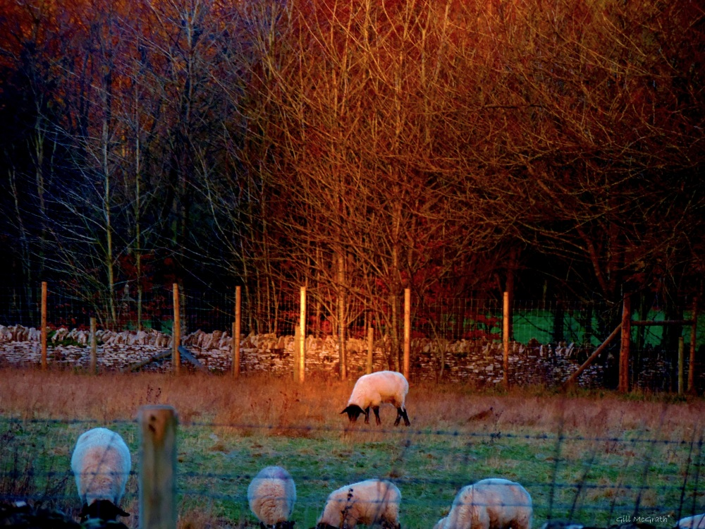 2015 01 29 spot light on sheep 1 jpg sig