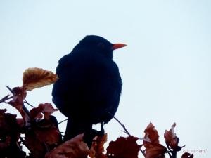 2015 02 10 blackbird hedge jpg sig