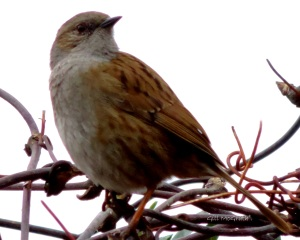 2015 02 10  brown bird in hedge jpg sig .