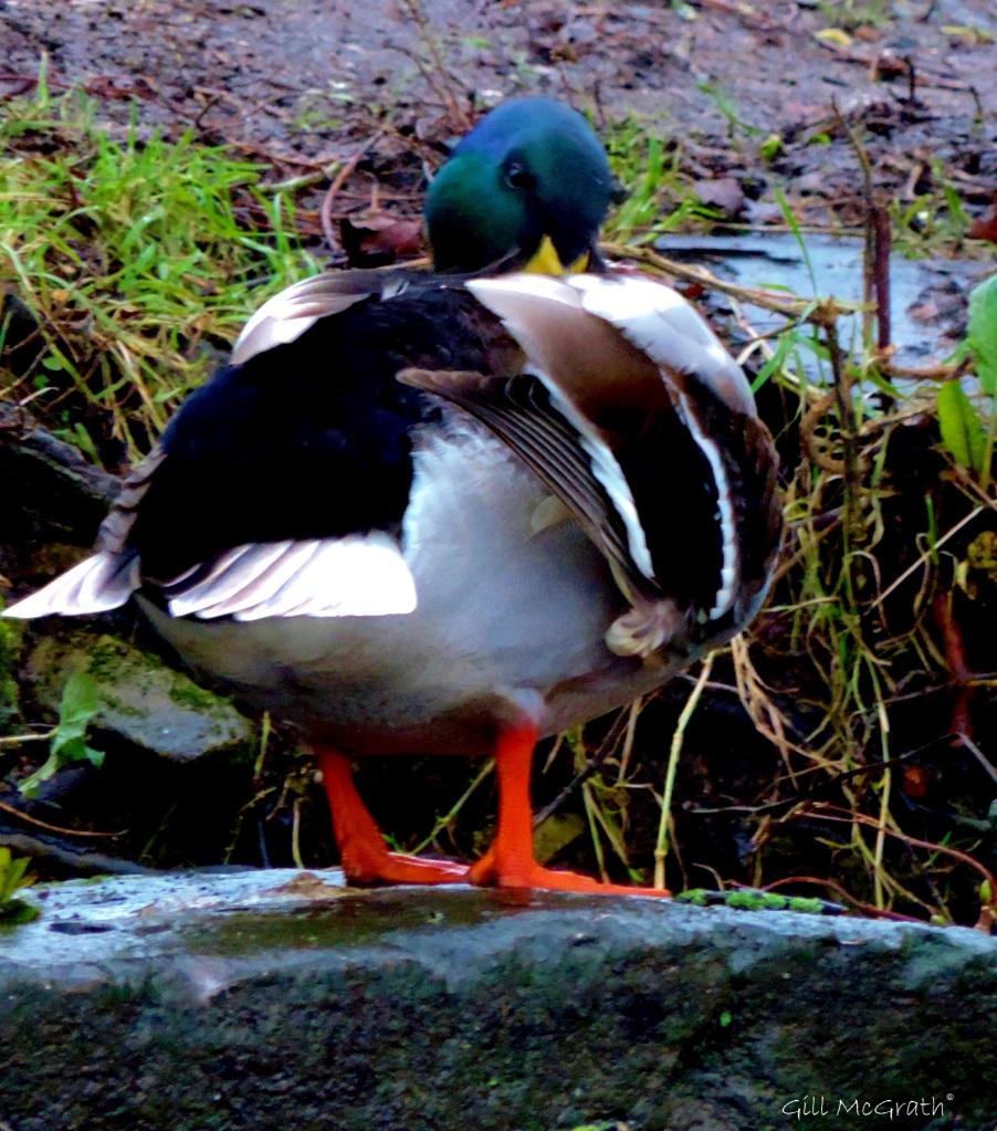 2015 02 12 duck 2 jpg sig