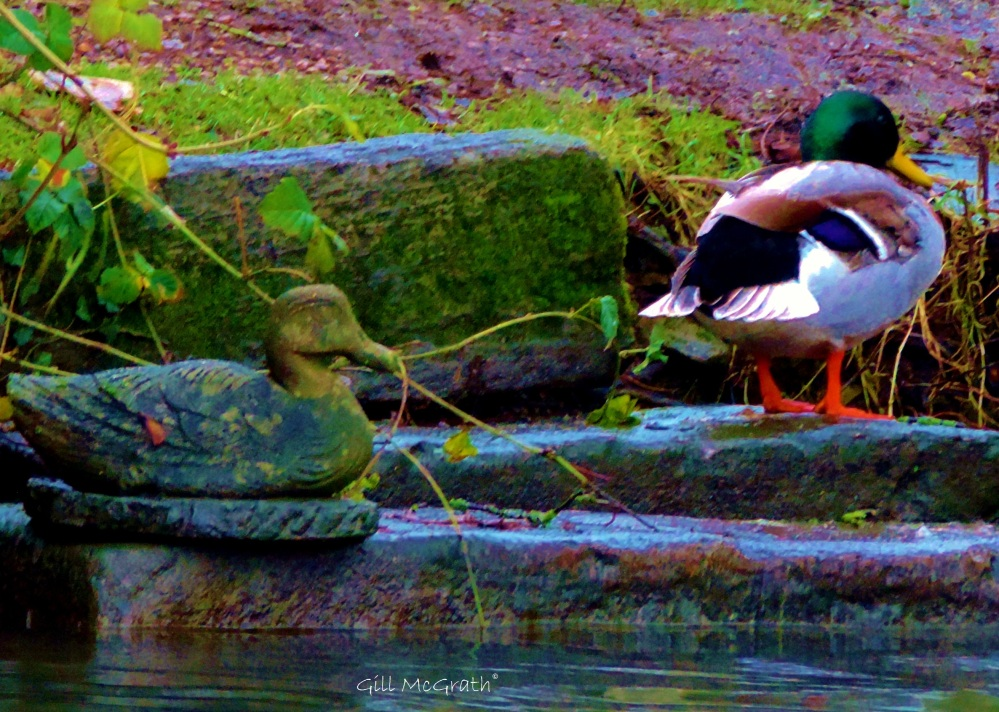 2015 02 12 ducks jpg sig