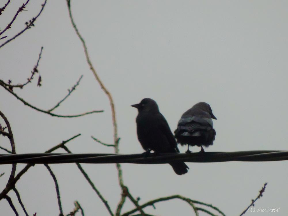 2015 02 15 crows jpg sig