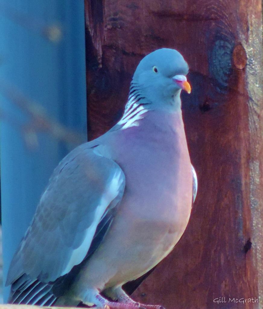 2015 02 20 pigeon mimic of sky jpg sig