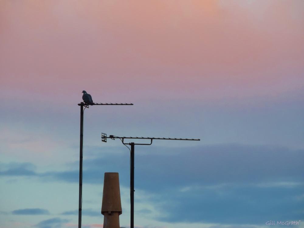 2015 02 21 1 pigeon post jpg sig