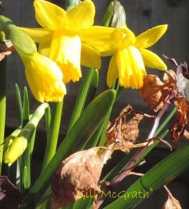2015  03 07 daffodils jpg sig