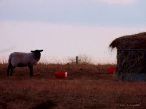 2015 03 08 sheep single jpg sig