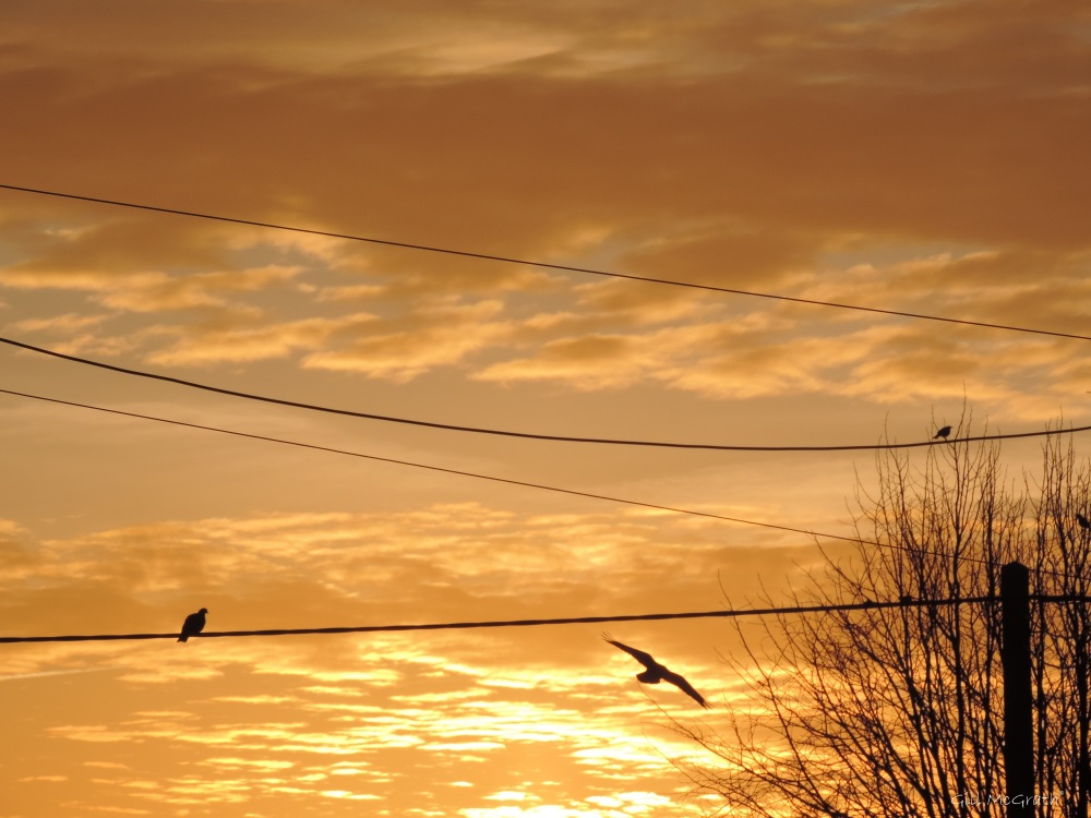 2015 03 09 653  bird 653  on the wires jpg sig