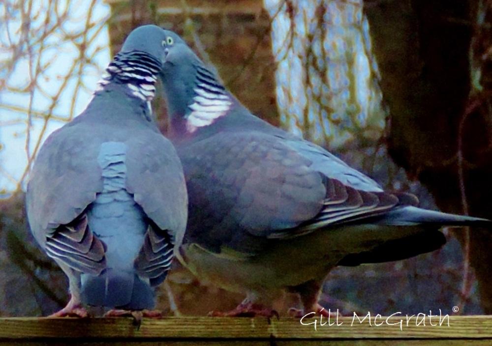 2015 03 09  kissing birds jpg sig