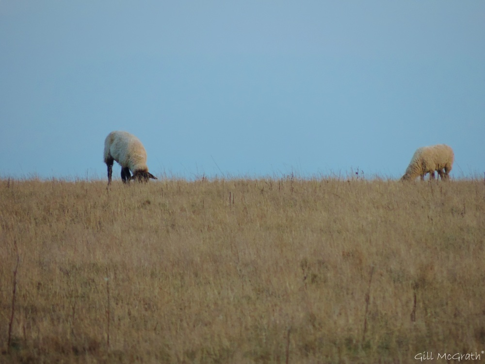 2015 03 10 sheep just before sunset jpg sig