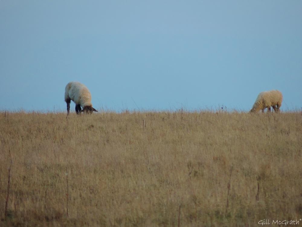 2015 03 10 sheep just before sunset jpg sig