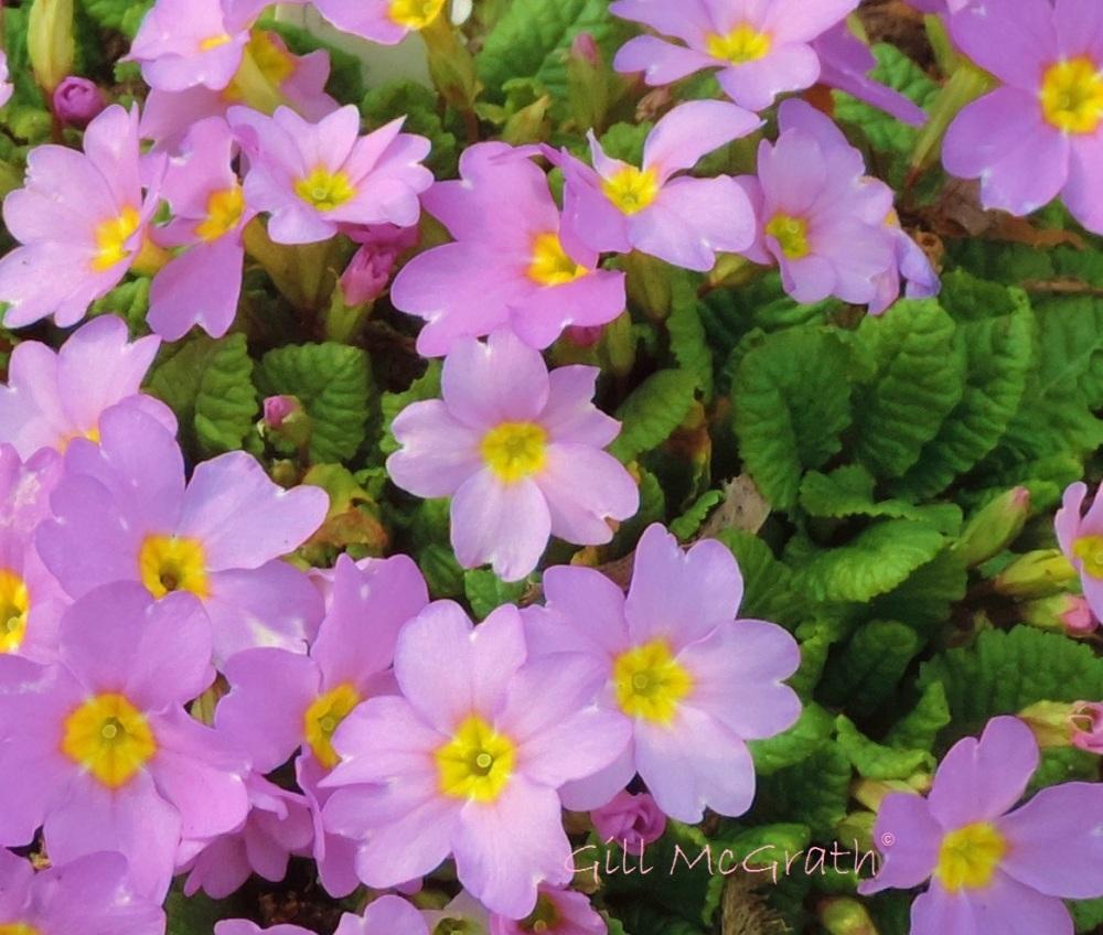 2015 03 15 pink flowers jpg sig