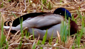 2015 03 26 8 water duck  jpg sig