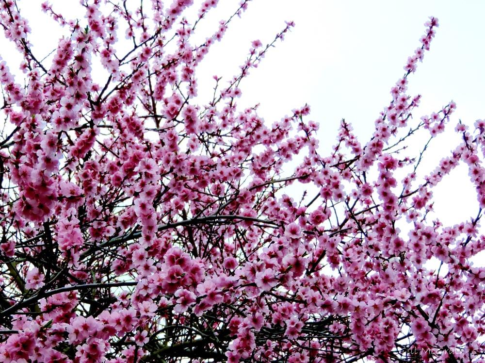 2015 03 31 pink blossom jpg sig sig