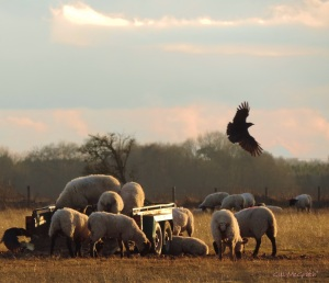 2015 08 03 sheep and a couple of crows jpg sig