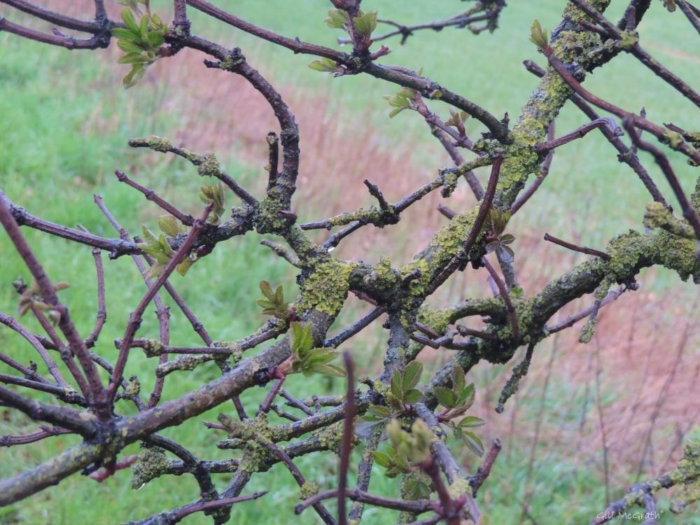 2015 04 03 733 6 lichen new shoot raindrop jpg sig