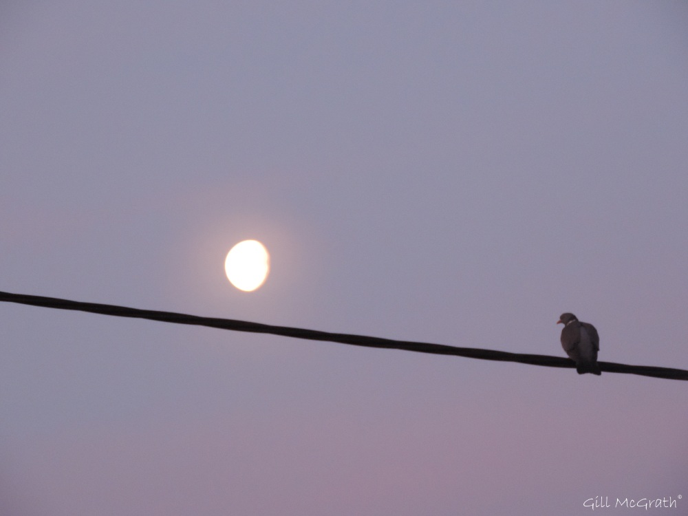 2015 04 08 1  1 617 pigeon and moon DSCN8953