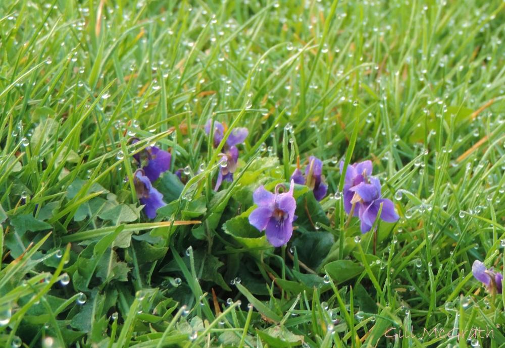 2015 04 09 0728 violets in dew jpg sig