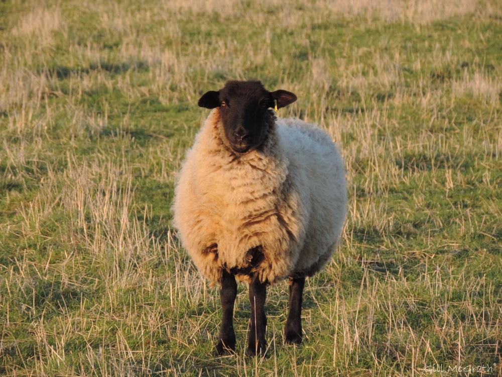 2015 04 14 sheep 1 jpg sig