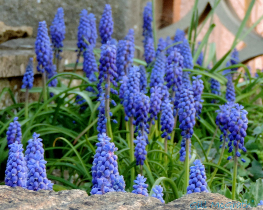 2015 04 15 642 grape hyacinth jpg sig