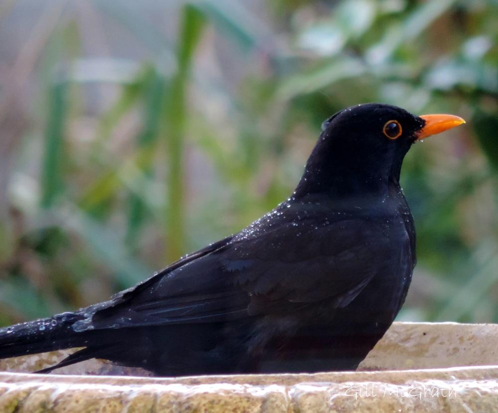 2015 04 17 blackbird jpg sig