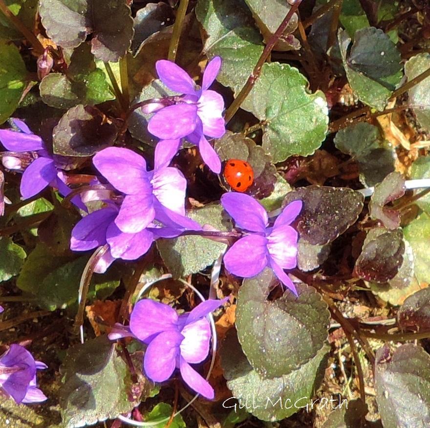 2015 04 19 violets jpg sig