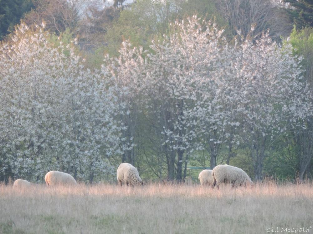 2015 04 23 pink looking sheep jpg sig