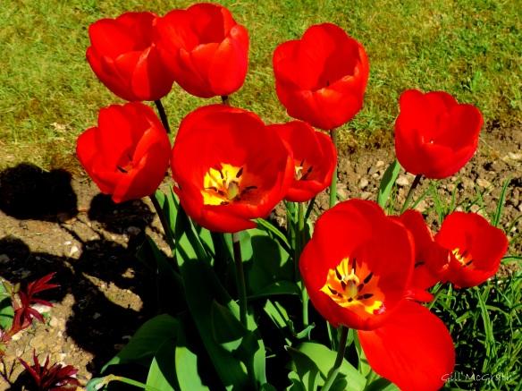 2015 04 23  tulip jpg sig  1 DSCN1523