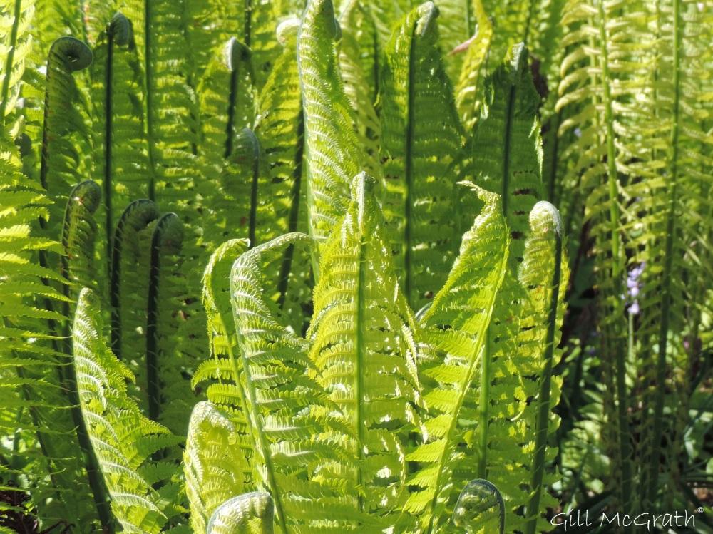 2015 04 30 4  unfurling ferns DSCN2481 jpg sig