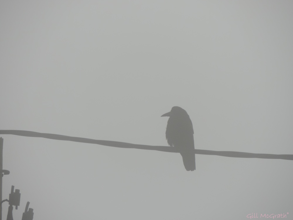 2015 0407  800 crow bird DSCN8769 jpg sig