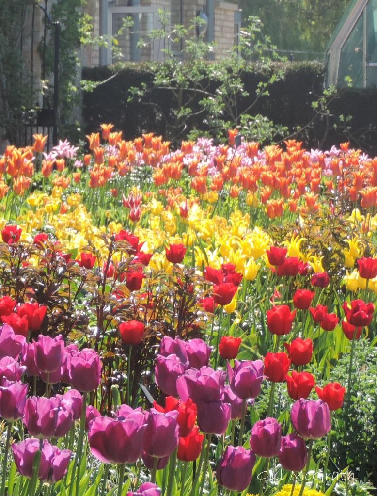 2015 05 03 1 tulip border DSCN2469 jpg sig