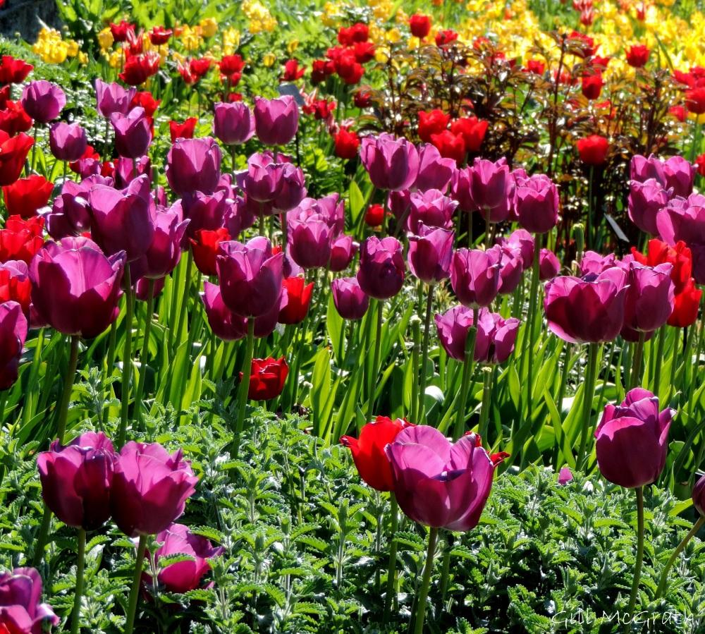 2015 05 03 2    tulips DSCN2460 jpg sig