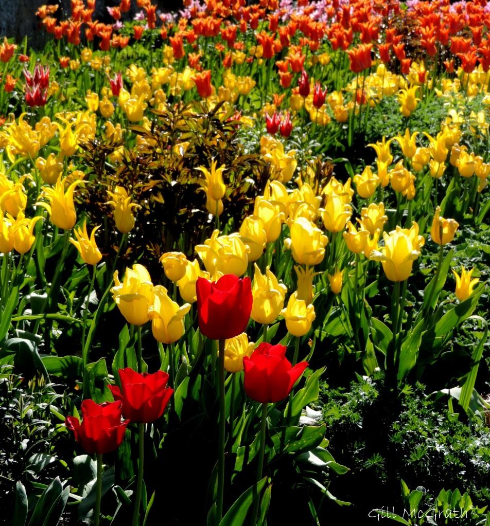 2015 05 03 3 tulips DSCN2463 jpg sig