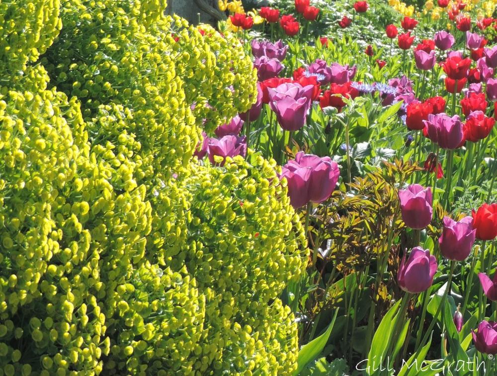2015 05 03 4 tulip border DSCN2468 jpg sig