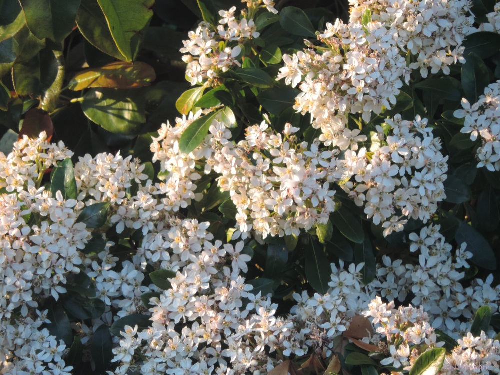 2015 05 14  evening light on white flowers DSCN4819 jpg sig