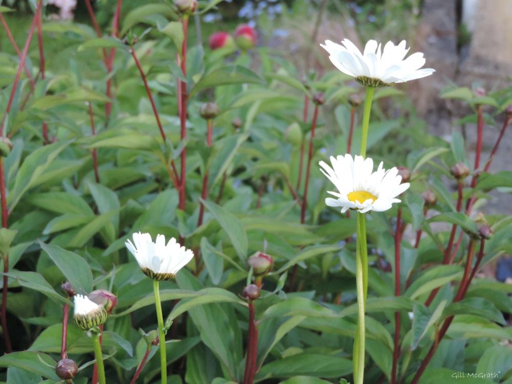 2015 05 17  4 daisy 548 DSCN5270 jpg sig