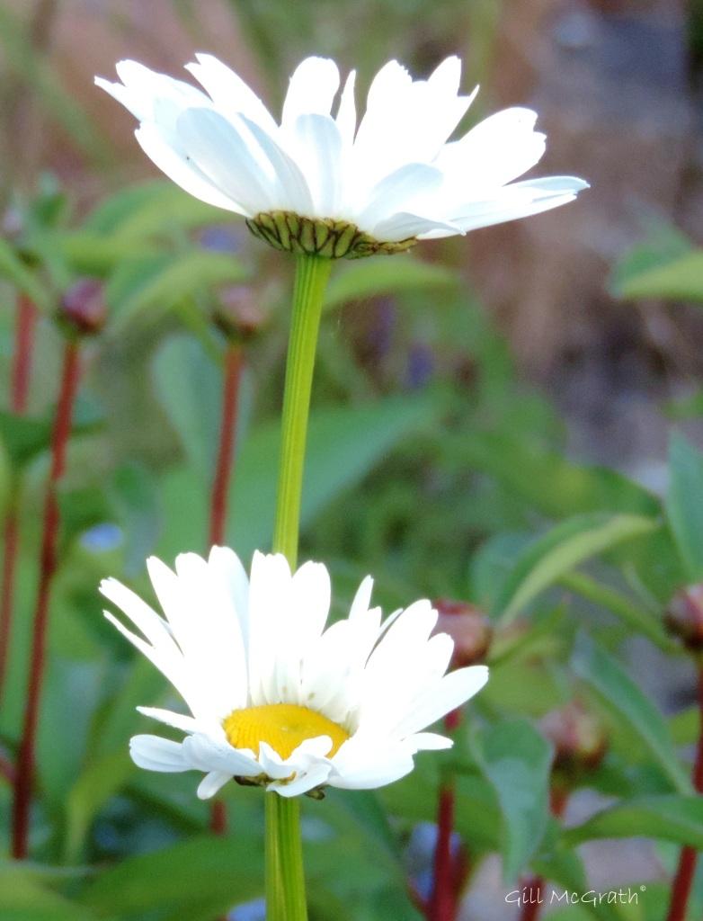 2015 05 17 flower of the morning DSCN5271 jpg sig
