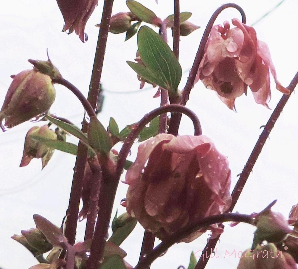 2015 05 18 aquilegia  pink rain DSCN5390 jpg sig
