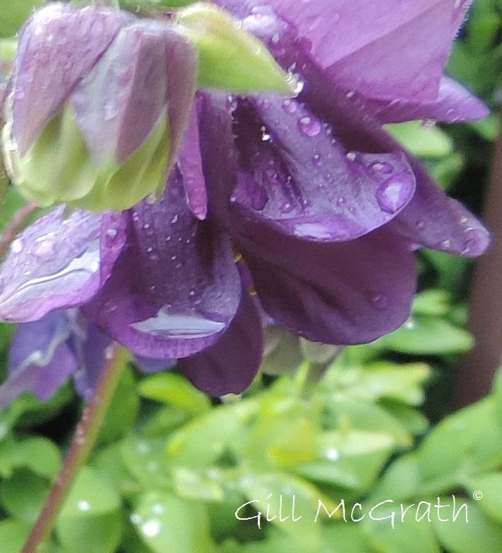 2015 05 18 aquilegia rain purple DSCN5398