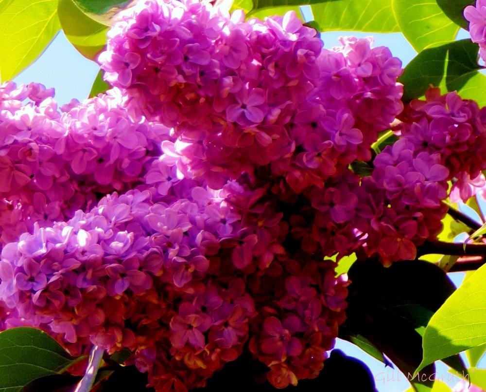 2015 05 20  lilac DSCN5802 jpg sig