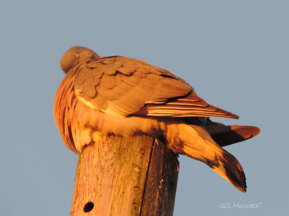 2015 05 26 golden bird DSCN6534 jpg sig