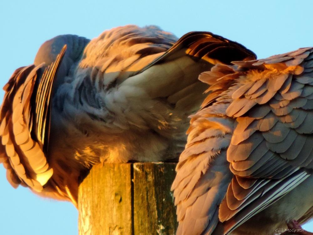 2015 05 26  golden birds  pt DSCN6543 jpg sig