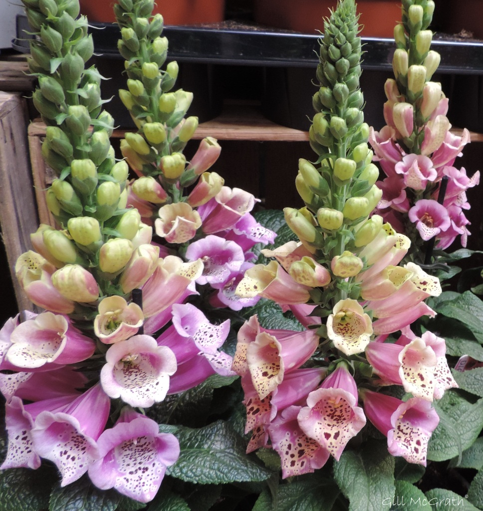 8 2015 05 30 241 foxgloves at the shop DSCN7231 jpg sig