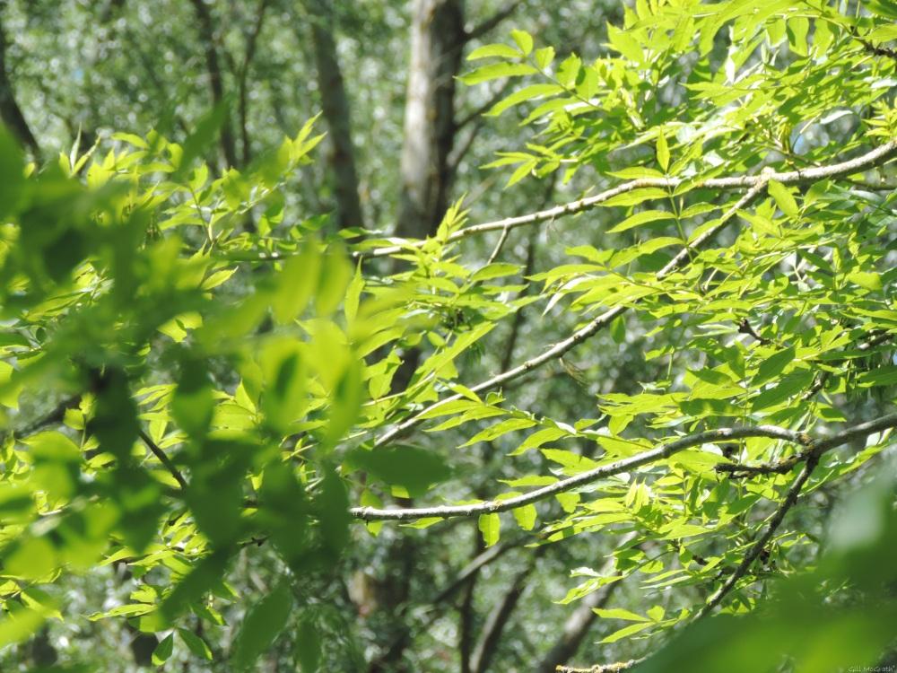 1 2015 06 08 bright green DSCN9308 jpg sig