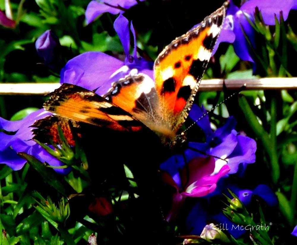 2 2015 06 29 butterfly DSCN3996 jpg sig